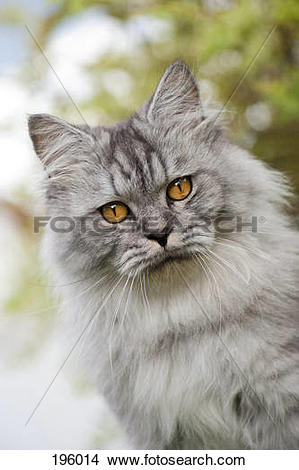 Stock Photo of British Longhair Portrait of adult cat Germany.