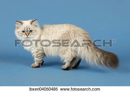 Stock Image of British Longhair Cat ibxeri04050485.