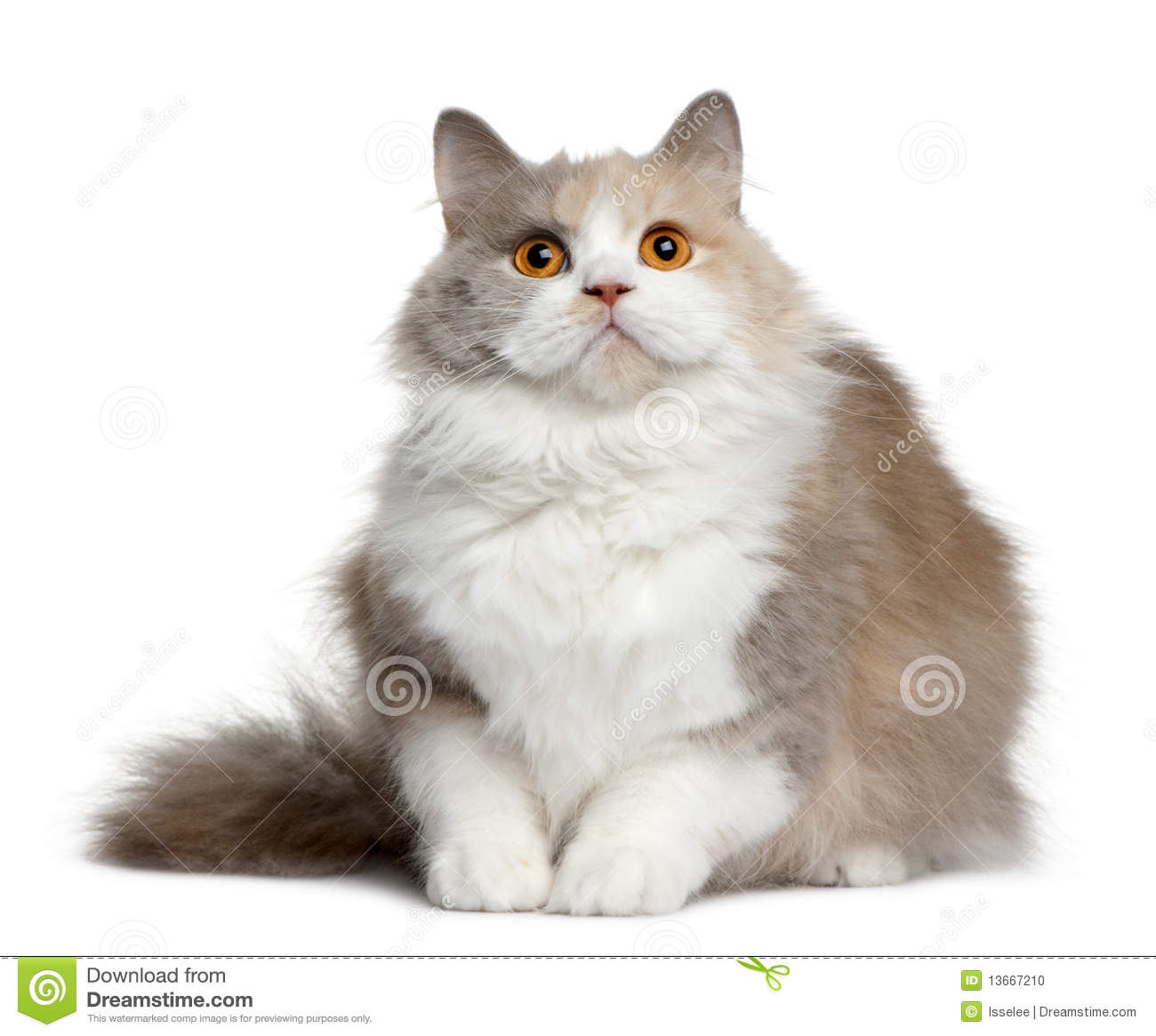 Brown Cat British Shorthair Stock Photos, Images, & Pictures.