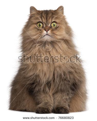 Persian Cat Stock Photos, Royalty.