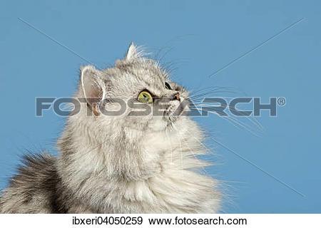 Stock Photograph of British Longhair Cat ibxeri04050259.