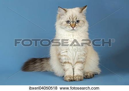 Pictures of British Longhair Cat ibxeri04050518.