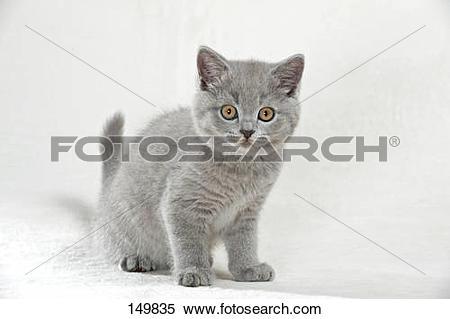 Stock Image of British Shorthair cat.