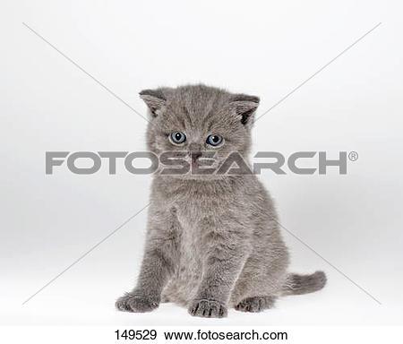Stock Photograph of British shorthair cat.