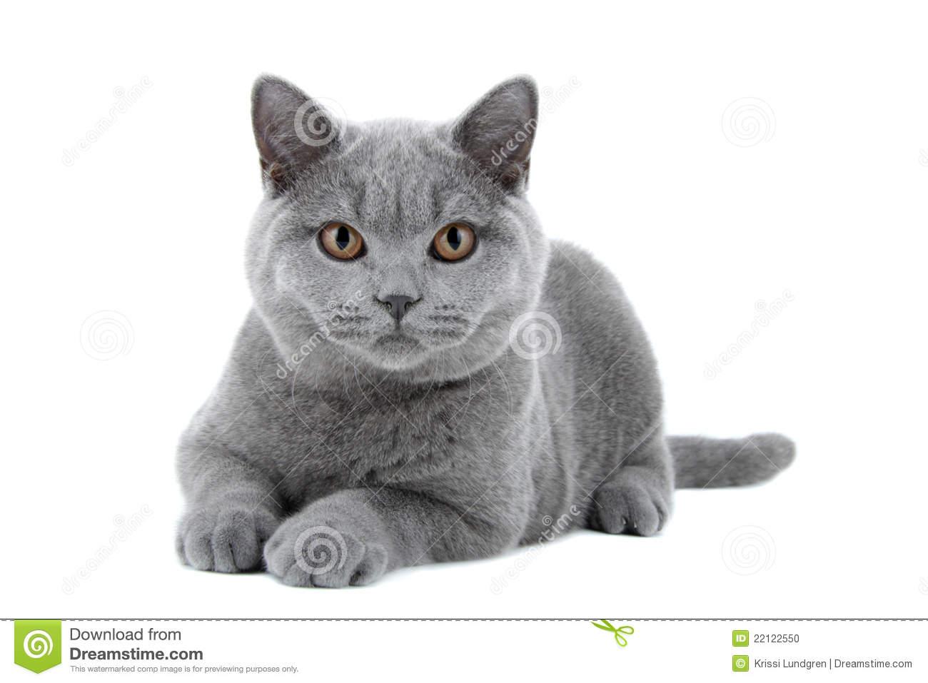 Blue British Shorthair Cat Stock Photo.