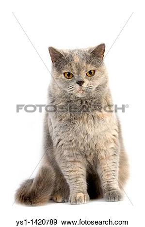 Stock Photograph of BLUE CREAM BRITISH SHORTHAIR CAT, ADULT FEMALE.