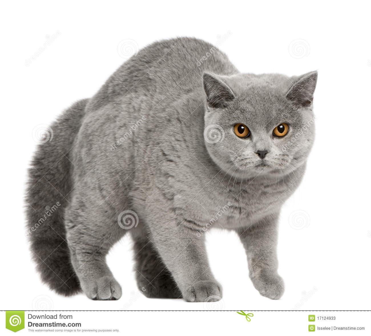 British Shorthair Cat, 8 Months Old, Walking Stock Photos.