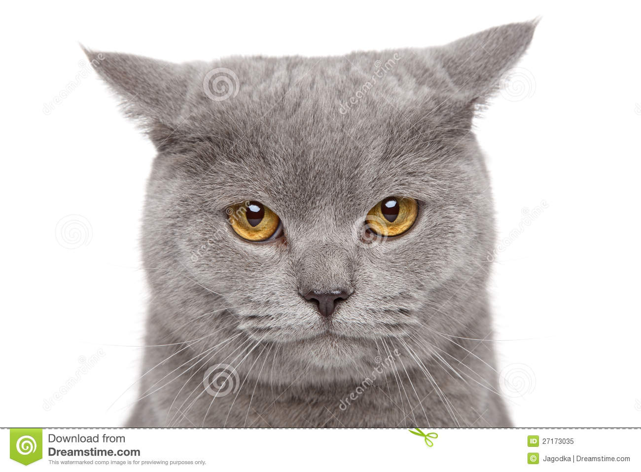 Sad British Shorthair Cat Royalty Free Stock Photo.