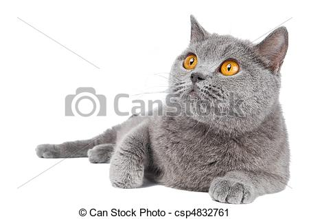 Stock Photography of British Shorthair cat isolated.