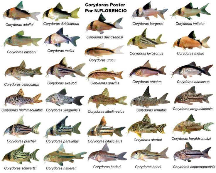 Cory Catfish Fish Image Photo Freshwater Aquarium Bandit