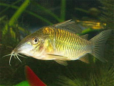 Emerald Cory Catfish.