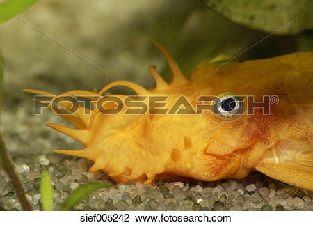 Stock Photo of Yellow catfish, Ancistrus sp., freshwater aquarium.