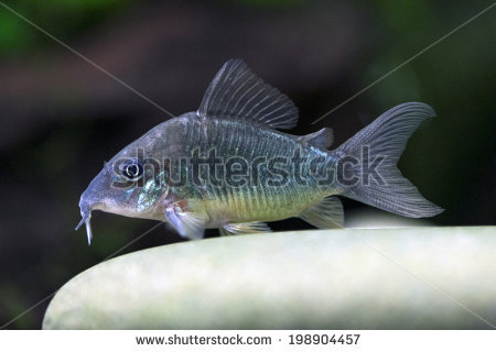 Corydoras Stock Photos, Royalty.