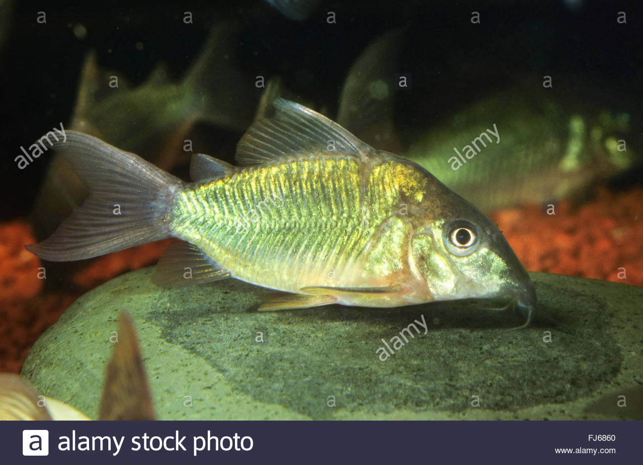 Catfish Fin Stock Photos & Catfish Fin Stock Images.