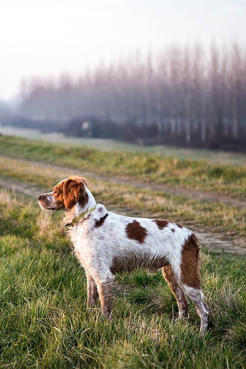 Brittany Dog Breed Information.