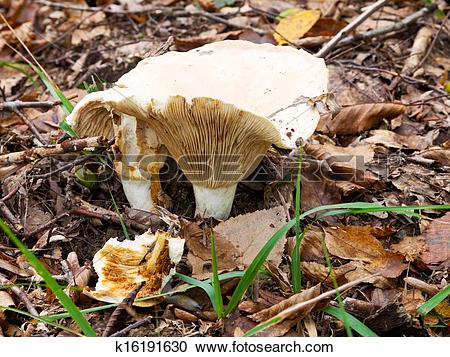 Stock Photography of russula delica mushroom in autumn litter.
