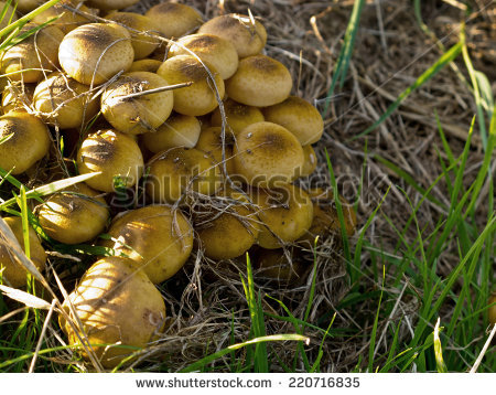 Common Yellow Russula Stock Photos, Royalty.