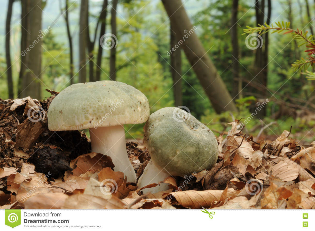 Russula Virescens, Commonly Known As The Green.