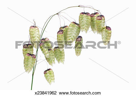 Stock Photo of Common quaking grass (briza media) x23841962.