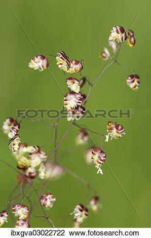 """Stock Photo of """"Panicle of Quaking."""