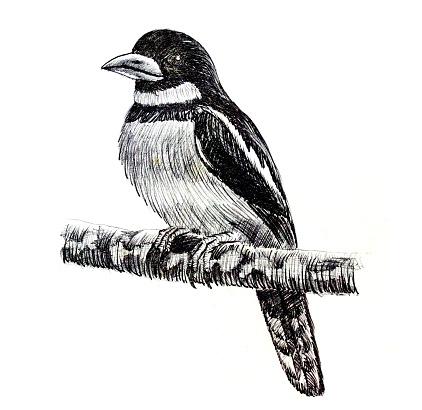 Broadbill Clip Art, Vector Images & Illustrations.