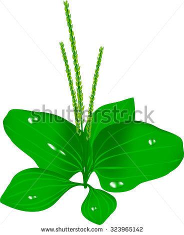 Plantain Leaf Stock Photos, Royalty.