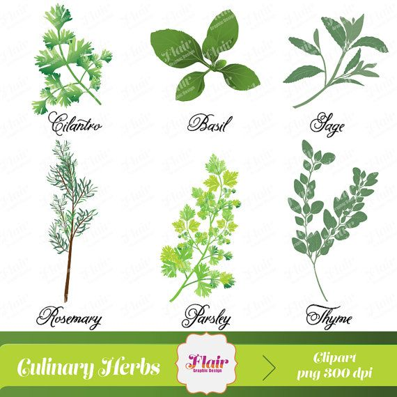 1000+ ideas about Culinary Herb on Pinterest.