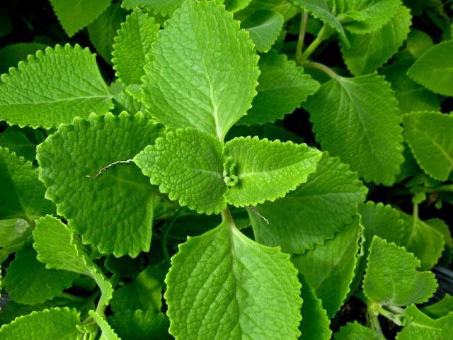 Edible herbs.