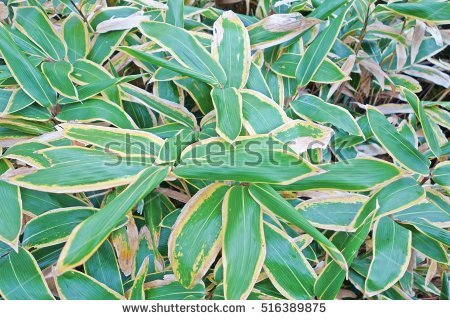 Broad Leaves Plant Stock Photos, Royalty.