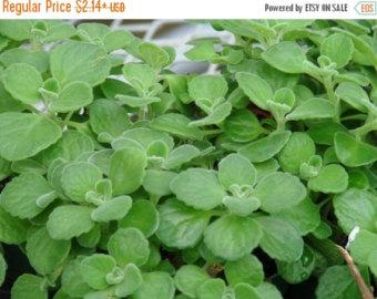 mint herb thyme herb.