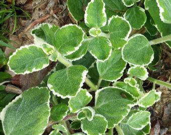 Items similar to Cuban oregano 10 leaves Queen of Herbs Broadleaf.