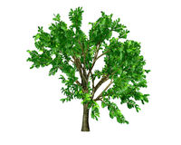 Broadleaf tree leaves clipart.