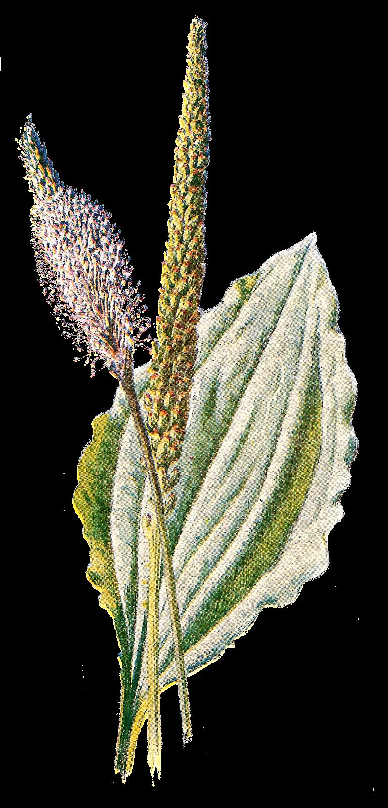 Antique Images: Free Flower Clip Art: Digital Graphic of.