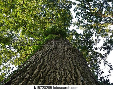 Broadleaf tree leaves clipart.