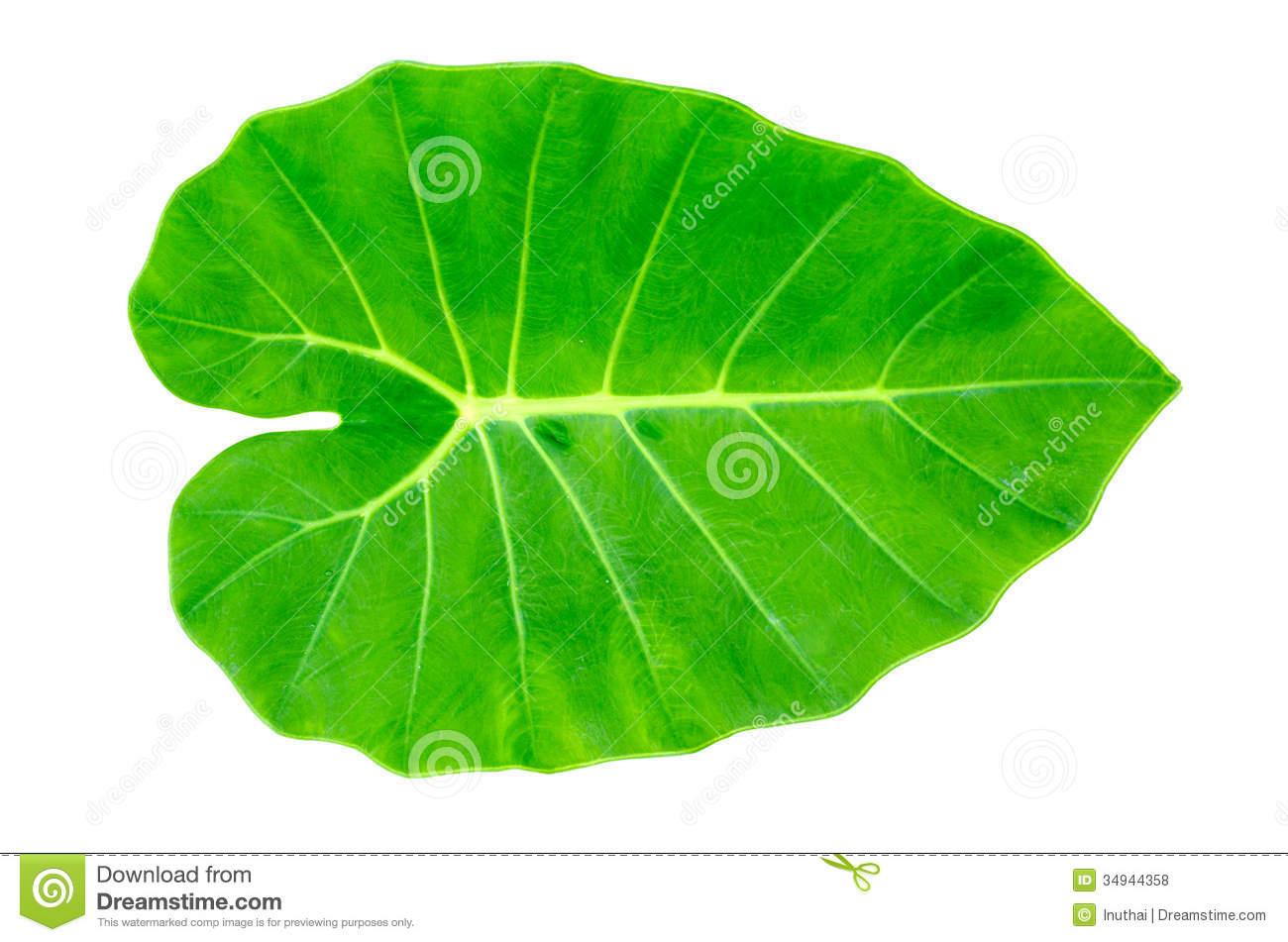 Elephant Ear Leaf Clipart.