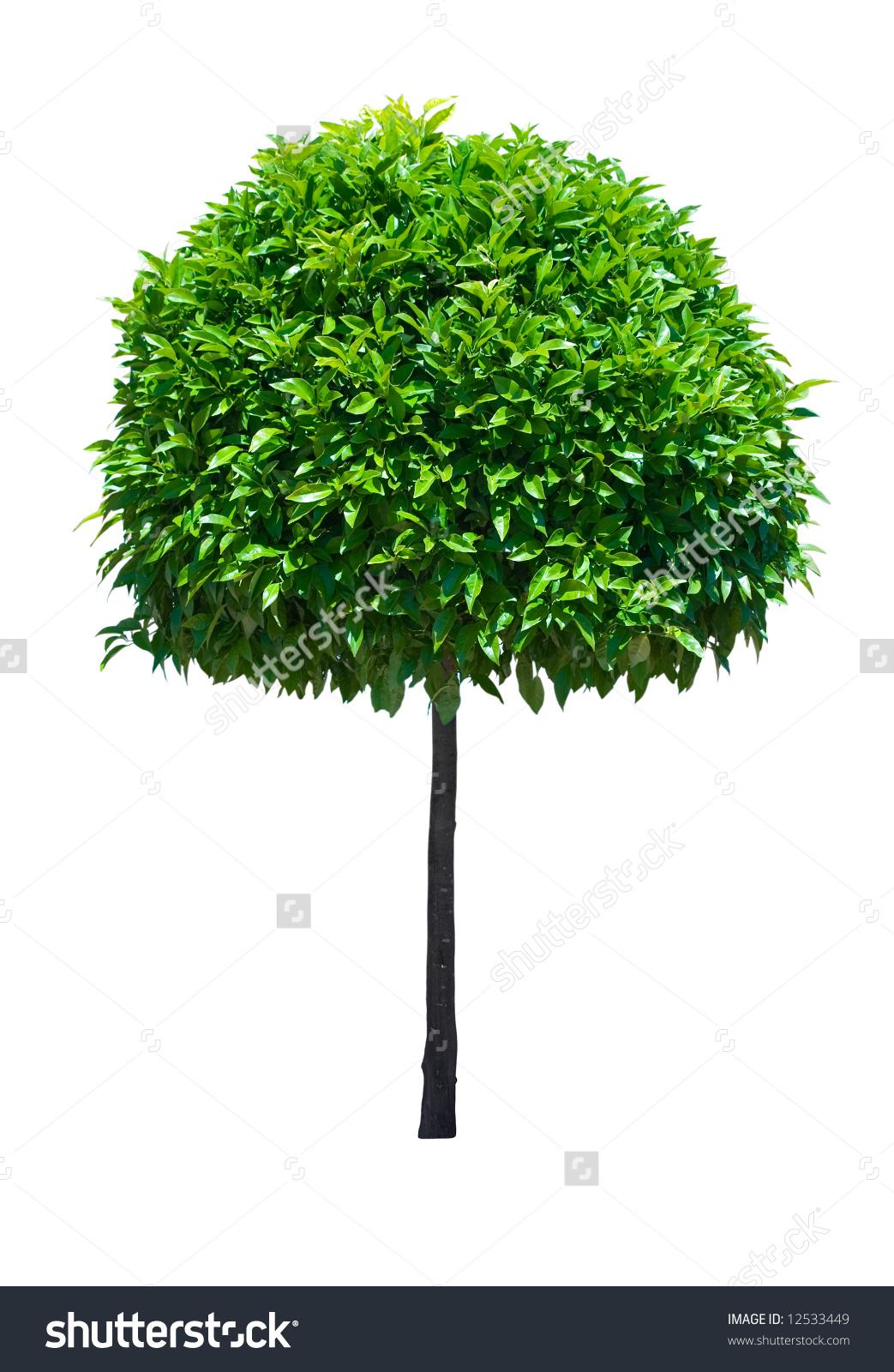 Ornamental Broad Leaf Evergreen Tree Isolated Stock Photo 12533449.