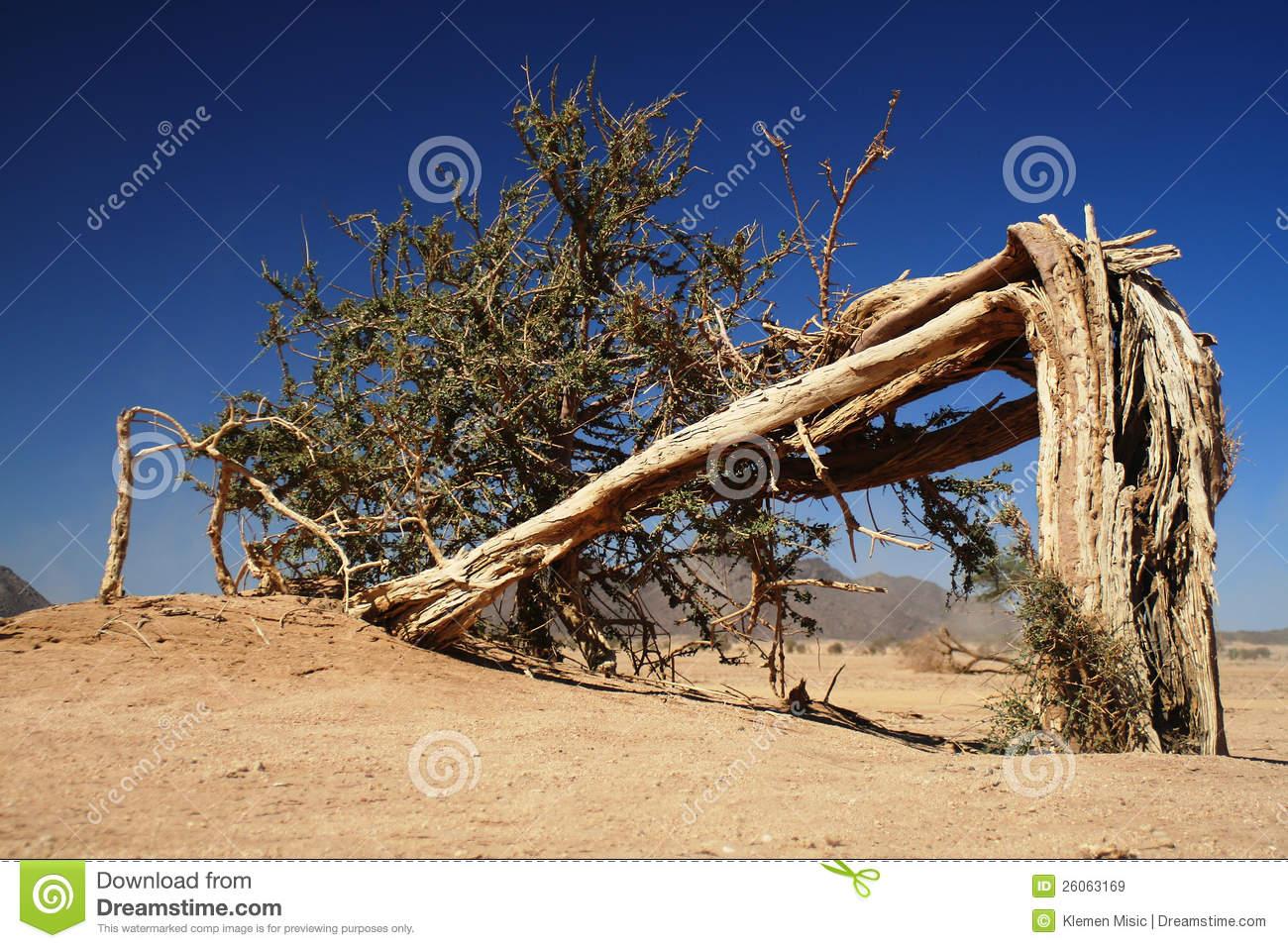 Lonely Broken Tree In Sahara Desert.