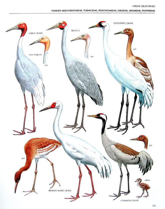 Vintage Bird Print Sarus Crane Brolga by mysunshinevintage.