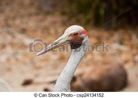 Stock Images of Brolga.