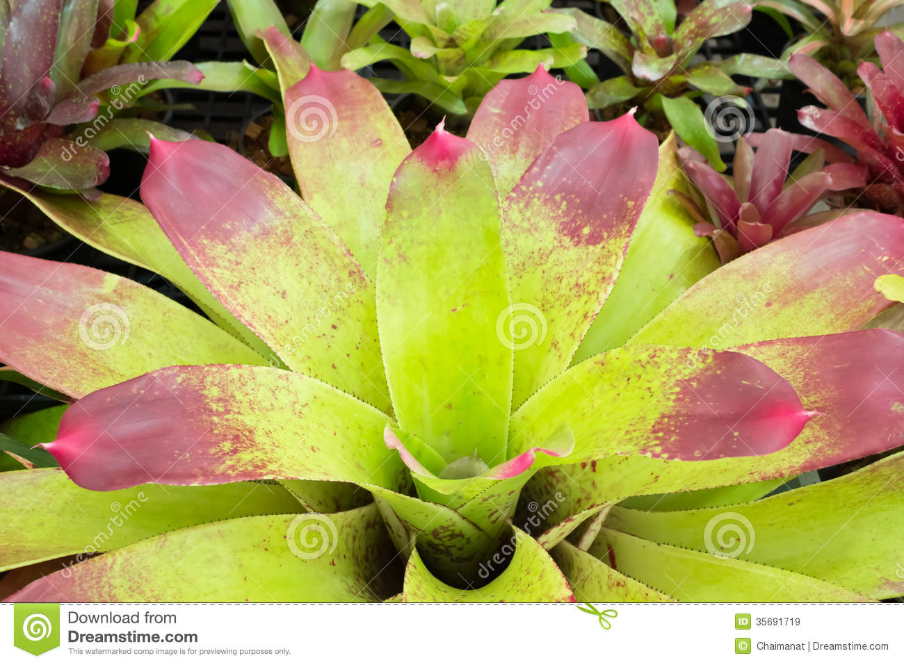 Bromeliad Royalty Free Stock Images.