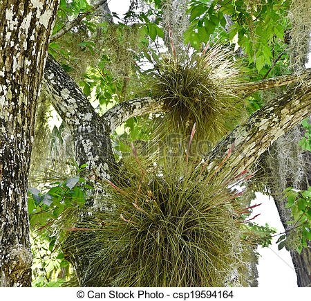 Stock Image of Florida Air Plants, Spanish Moss.