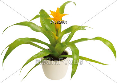 Stock Photo Potted Bromeliads Clipart.