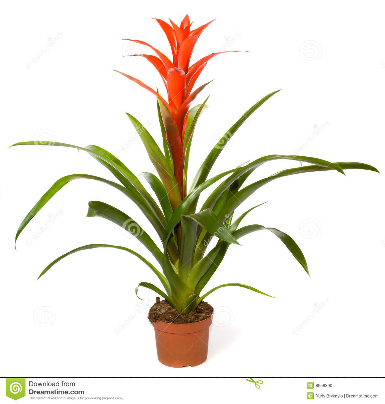 Bromeliad Plant Stock Photos.