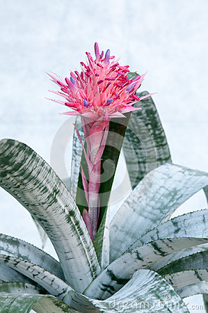 Bromelioideae Stock Photos, Images, & Pictures.