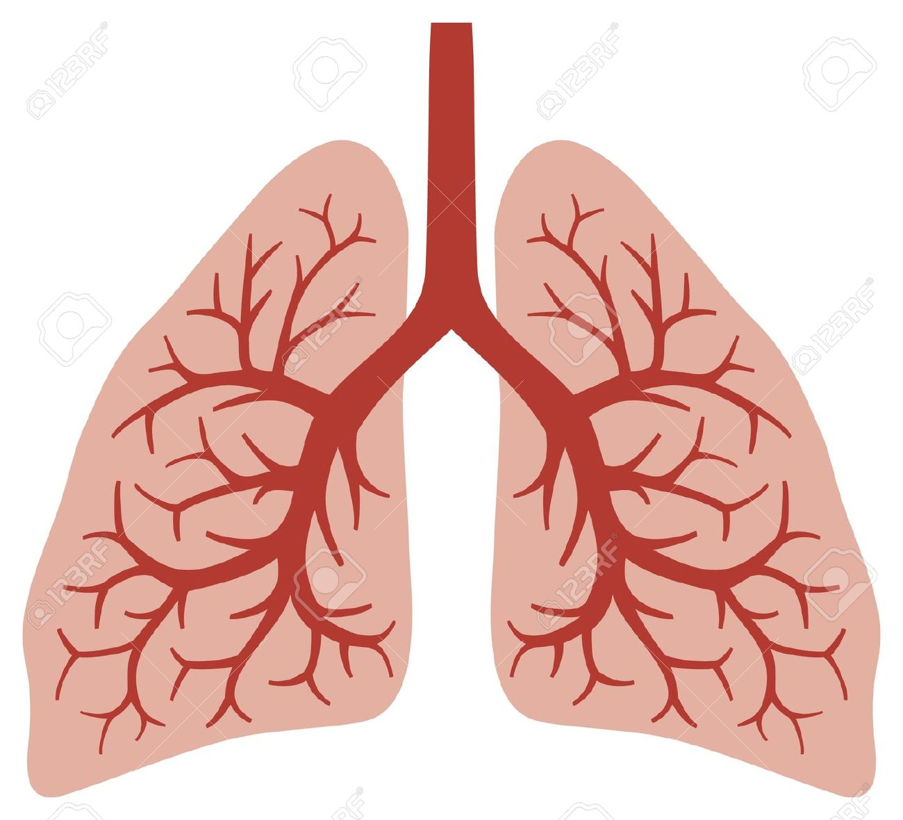 Human Lungs Bronchial System, Human Organs, Lungs Anatomy Royalty.