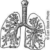 Bronchial tubes Illustrations and Stock Art. 30 Bronchial tubes.
