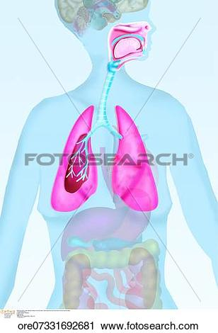 Stock Photography of Breathing system lungs respiratory anatomy.