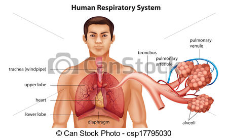 Bronchus Illustrations and Stock Art. 1,274 Bronchus illustration.