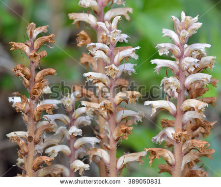 Ivy Broomrape (Orobanche Hederae) Close Up Of Flowers. Close Up Of.