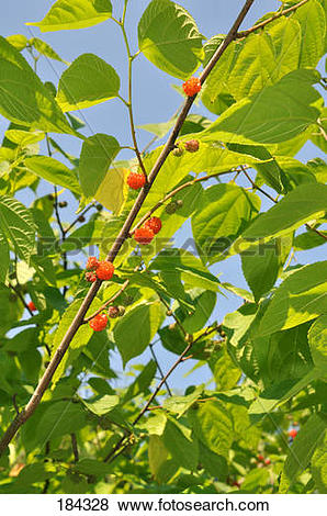 Pictures of Japanese Paper Mulberry (Broussonetia kazinoki). Twig.